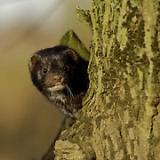 American Mink, Oxfordshire UK. American mink are wonderful adaptive predators that through no fault of their own are causing mayhem round the globe. From Russia to South America they are impacting local species.