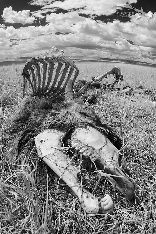 A mammal carcass photographed in near-infrared. Serengeti, Tanzania.