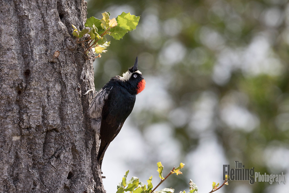 Acorn woodpecker looking up at tree