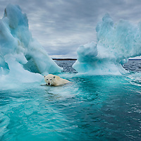 Canada, Nunavut Territory, Repulse Bay, Polar Bear (Ursus maritimus) swimming beside melting iceberg near Arctic Circle on Hudson Bay