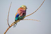 Lilac-breasted Roller, Satara, Kruger National Park, South Africa
