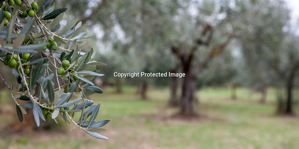 The beauty of olive trees. This shot was taken in an olive orchard in Assisi, Italy while Pope Francis was visiting Assisi for the first time.