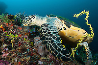 A Sea Turtle munches some encrusting sponges, while a wrasse attempts to capture fleeing fish and crustaceans<br /> <br /> Shot in Indonesia