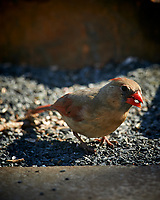 Female Northern Cardinal. Image taken with a Nikon D4 camera and 600 mm f/4 VR lens (ISO 180, 600 mm, f/4, 1/400 sec)
