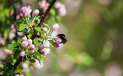THEMENBILD - eine Steinhummel (Bombus lapidarius) sitzt auf einer Apfelbaumblüte und saugt Nektar aus der Blüte, aufgenommen am 23. April 2018, Kaprun, Österreich // a bumblebee sits on an apple tree blossom and sucks nectar from the blossom on 2018/04/23, kaprun, Austria. EXPA Pictures © 2018, PhotoCredit: EXPA/ Stefanie Oberhauser