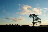 Isolated granny Scot's pine tree (Pinus sylvestris) with young saplings nearby, Abernethy National Nature Reserve, Cairngorms National Park, Scotland, September