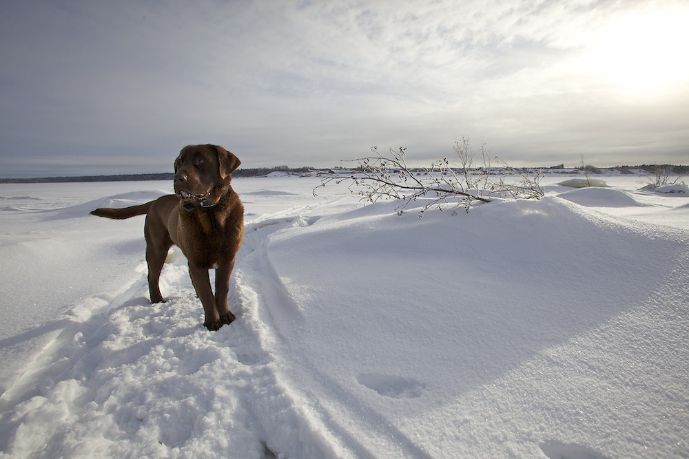 With a friendly chocolate labrador as an escort, photographer Tristan Brand spent part of the afternoon of January 11th crossing the frozen mouth of the Rupert River off of James Bay. The Cree community of Waskaganish sits on the edge of the river and plays host to a number of snowmobilers that cross the river regularly. Paths are often marked by pine tree markers to indicate safer routes and to guide traversers safely.