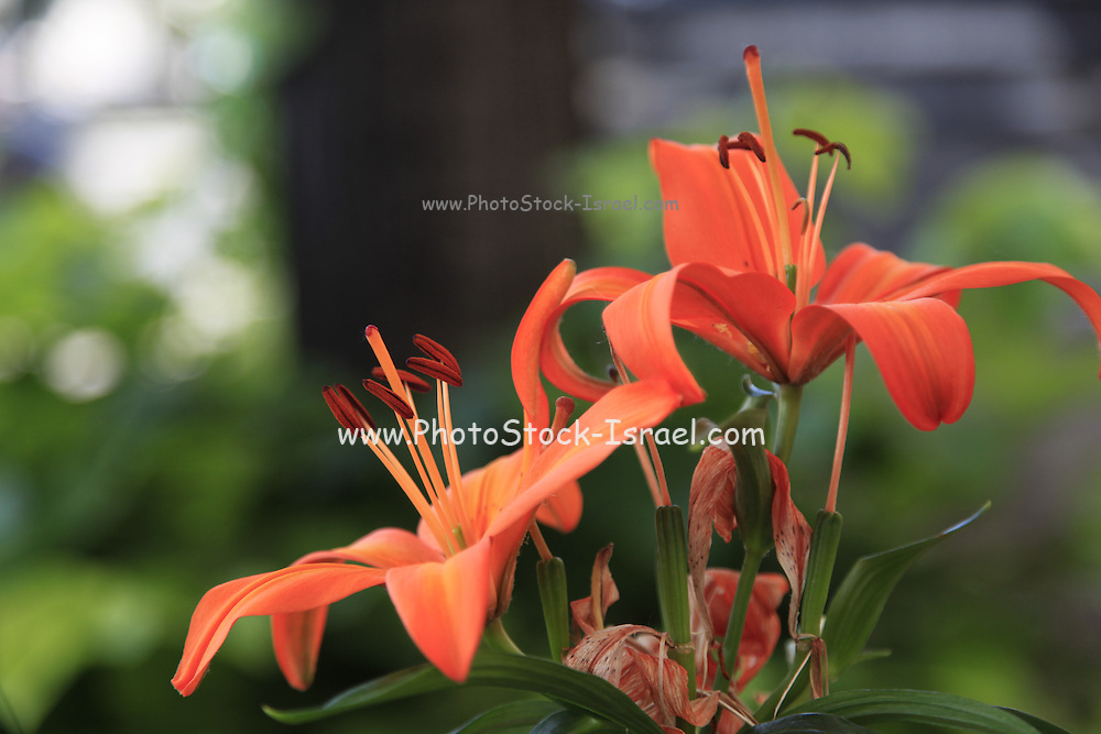 Blooming Orange Amaryllis