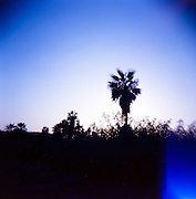 """Palm trees in the late afternoon light in El Pescadero, southern Baja, Mexico.  Captured on film with the cult classic Holga plastic """"toy"""" camera."""