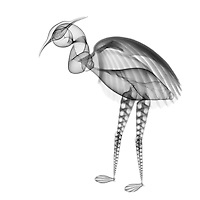 X-ray image of a wading bird (black on white) by Jim Wehtje, specialist in x-ray art and design images.