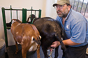 July 26, 2008 -- SNOWFLAKE, AZ: DAVID HEININGER, puts a milking machine onto the Nubian dairy goats at the Black Mesa Ranch, a 280 acre spread in the high desert near Snowflake, AZ. The ranch owners, David and Kathryn Heininger, run a herd of about 40 Nubian dairy goats and hand make artisan cheese from the goat's milk. It's a second gear for them, they retired from Tucson, AZ, where they bought and renovated  historic homes. The moved to the ranch in 2001 and started making and selling cheese shortly after the move. Their cheese is used in expensive restaurants in Phoenix and sold at natural food stores in Arizona. PHOTO BY JACK KURTZ