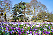 © Licensed to London News Pictures. 11/03/2015. Kew, UK. People enjoy the cross displays at Kew Garden's today 11th March 2015. The display features the variety Crocus tommasinianus. The Uk has enjoyed warm sunny weather this week.  Photo credit : Stephen Simpson/LNP
