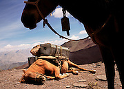 Ehausted pack horse collapses at the summit of Kongmaru La Pass, Ladakh, India.
