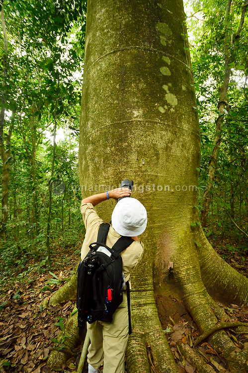 A tourist takes a picture of a giant cuipo tree (Cavanillesia platanifolia) on Barro Colorado Island, home to the Smithsonian Tropical Research Institute, Panama.