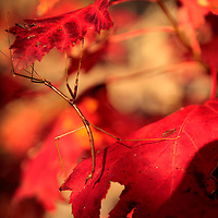 October 25, 2009 - Slade, Kentucky, USA - A walking stick insect crawled over the brilliant red leaves of a maple in the Natural Bridge State Park during what was expected to be the peak weekend for fall color in the area. (Credit image: © David Stephenson)