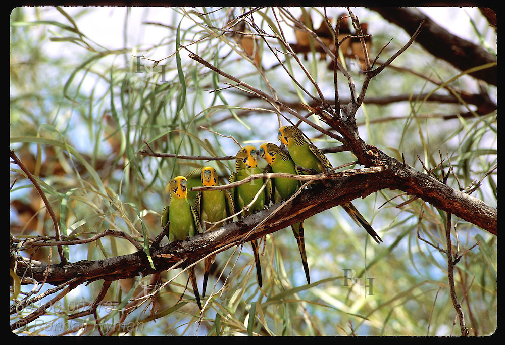 Five budgerigar birds perch along branch as zebra finches sit in background; Tanami Desert Australia