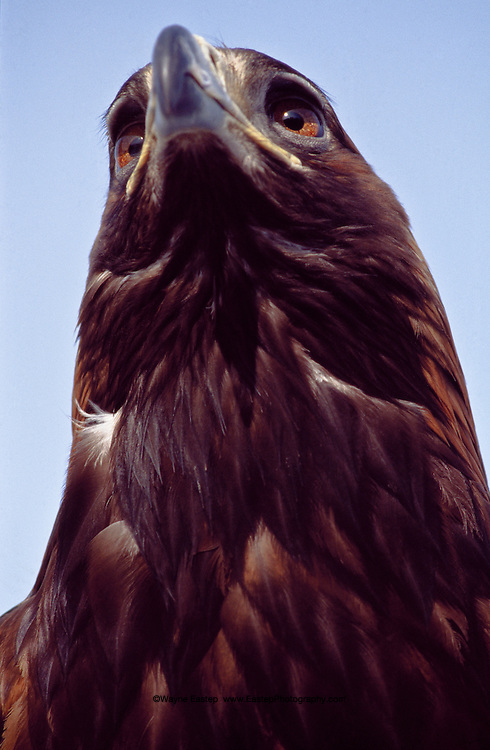 Golden Eagles- Called Burkit in Kazakh-are trained by their owners from the time they are chicks to be hunters.  This one measures more than 104 centimeters (41 inches) from the tip of its bill to the end of its tail.  Its wing span measures two meters, or more than six feet.  These powerful birds can kill deer, fox and wolves.  Once plentiful in Central Asia, they are now becoming rare. Kazakhstan