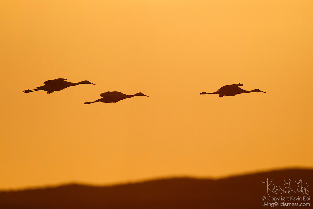 Three sandhill cranes (Grus canadensis) are rendered in silhouette as they fly over the Bosque del Apache National Wildlife Refuge in New Mexico at sunset.