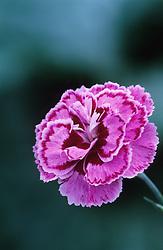 Dianthus 'Moulin Rouge'- Carnation, Pink