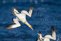 Cape Gannet diving into the ocean after fish, Cape Canyon Trawl Grounds, South Africa