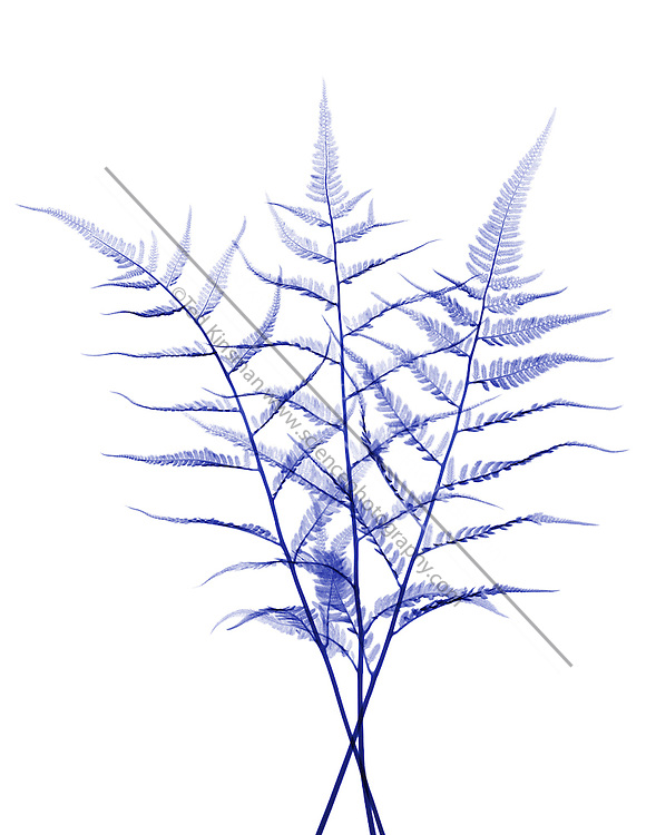 A false color X-ray of a fern.
