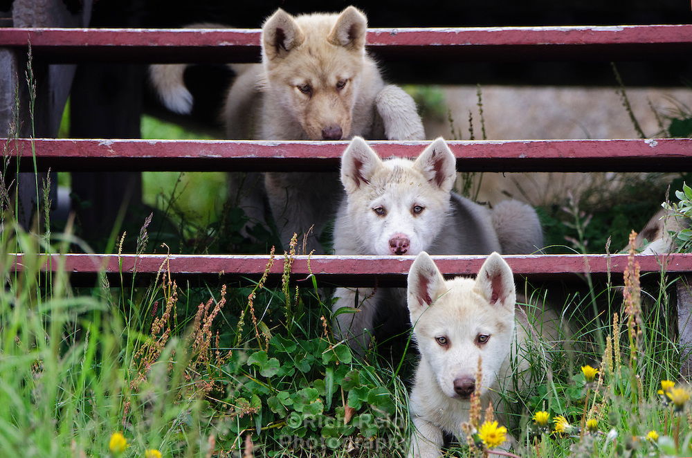 Three Greenlandic sleddog puppies under a porch in Sisimiut are pure bred sleddog and by law no other dog breeds are allowed in Northwest Greenland.