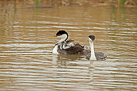 A Western Grebe family the male fishes while the female tends to the young chicks.