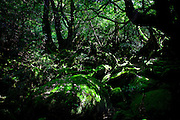 Japan, Yakushima - Mononoke forest - rocks covered with moss