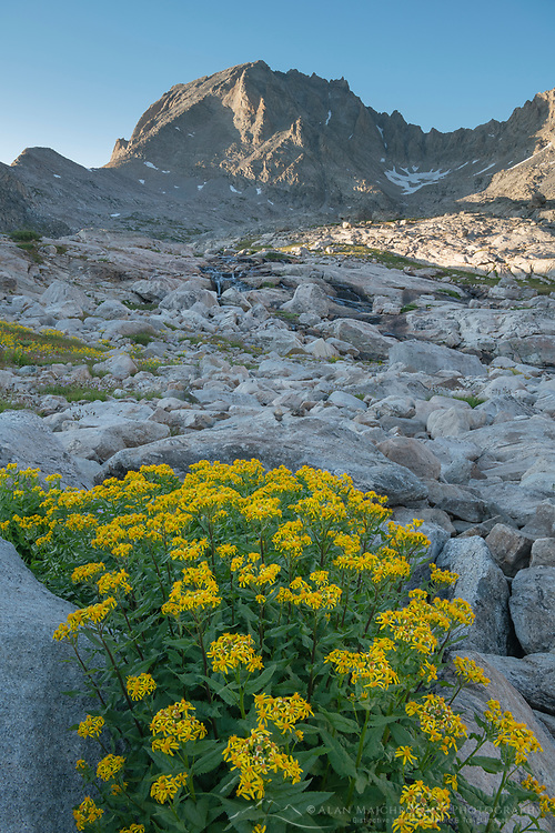Field of wildflowers composed of yellow Arnica in Indian Basin, Fremont Peak is in the distance, Bridger Wilderness, Wind River Range wyoming