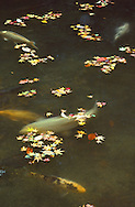 Autumn is an especially beautiful season in Japan, creating tableau's like this mix of carp and maple leaves in the pond at the Sanzen-in Temple in Kyoto. Sanzen-in's Ojo-Gokuraku-in (Amida Hall), which means Temple of Rebirth in Paradise, was first built in 985 by tendai preist Genshin.