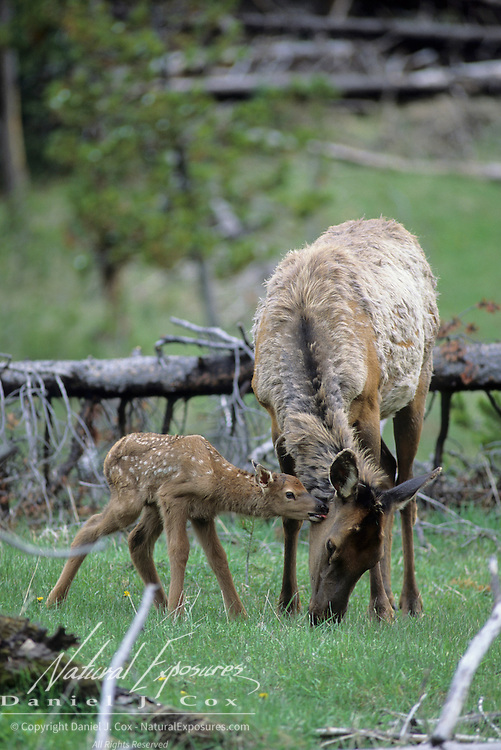 Elk (Cervus canadensis) cow with spring calf grazing on new grass shoots during springtime in Wyoming.