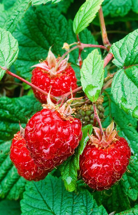 Alaska. Anchorage Domestic Raspberries.
