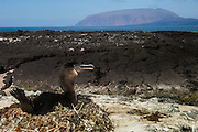 Flightless Cormorant (Phalacrocorax harrisi) on nest<br /> off Wolf Volcano Isabela Island. GALAPAGOS ISLANDS<br /> ECUADOR.  South America<br /> These are the largest of the world's 29 cormorant species and the only one that has lost the power of flight. They live very locally to the shores of Isabela and Fernandina Islands and although they can not fly still retain vestigial wings which help them to balance when jumping from rock to rock. As they do not produce much oil to waterproof their wings they must dry out their wings when they return to shore. Nests are constructed of seaweed, flotsam and jetsam and are never more than a few meters from shore. Usually up to 3 eggs are layed.<br /> ENDEMIC TO GALAPAGOS