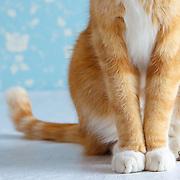 Orange Tabby Cat on Blue