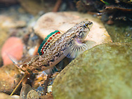 Coosa Darter (male)<br />