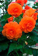 Begonia Plant, United Kingdom.