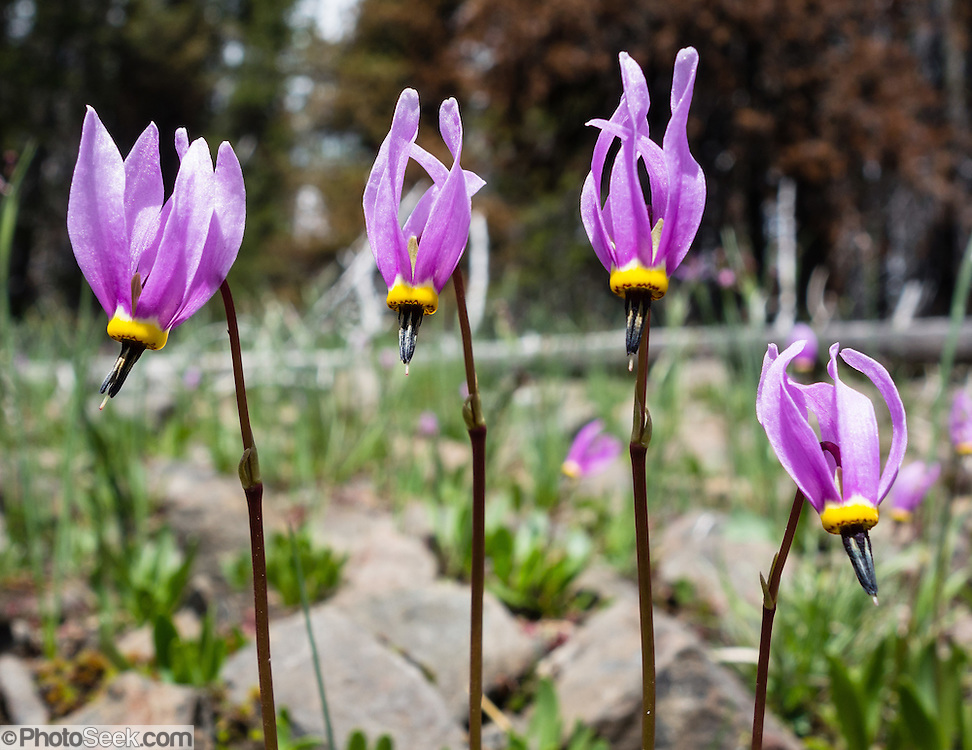 A Shooting Star flower (Dodecatheon genus in the Primrose family, Primulaceae) blooms pink/purple along the Table Mountain Trail #1209, near Blewett Pass, Wenatchee National Forest, Washington, USA