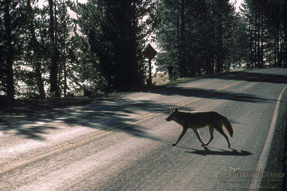 Coyote crossing a two lane paved road near the Yellowstone River, Yellowstone National Park, Wyoming