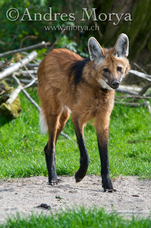 Maned wolf (Chrysocyon brachyurus), Argentina. Is the largest canid of South America, resembling a large fox with reddish fur.  is found in open and semi-open habitats, especially grasslands with scattered bushes and trees, in south, central-west and south-eastern Brazil,  Paraguay, northern Argentina and Bolivia. Image by Andres Morya