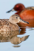 Cinnamon Teal, Anas cyanoptera, female & male, Washoe County, Nevada