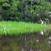 South America, Peru, Amazon. Egrets of Peruvian Amazon.