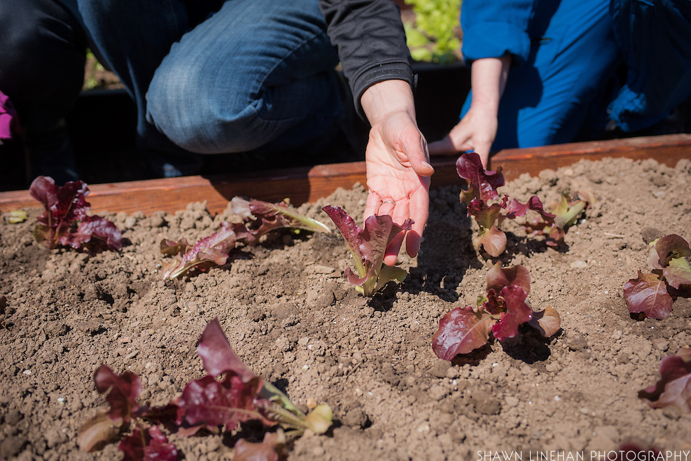 """""""Outredgeous"""" lettuce, the first lettuce grown in space and bred by Frank Morton of Wild Garden Seed in Philometh, Oregon is planting in the White House Kitchen Garden in 2016."""