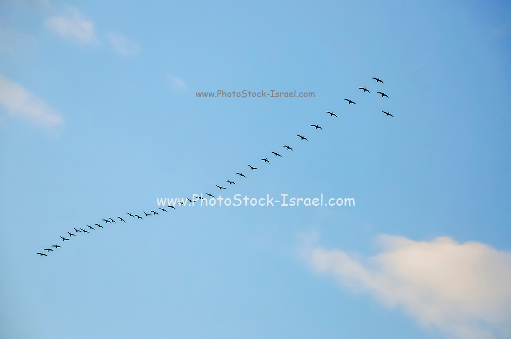 Bird migration. A flock of birds fly in an arrow formation on a blue sky background. Photographed in the Galilee,  Israel in January