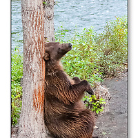 Grizzly bear scratches its back on a tree near the Nakina River in British Columbia Canada.