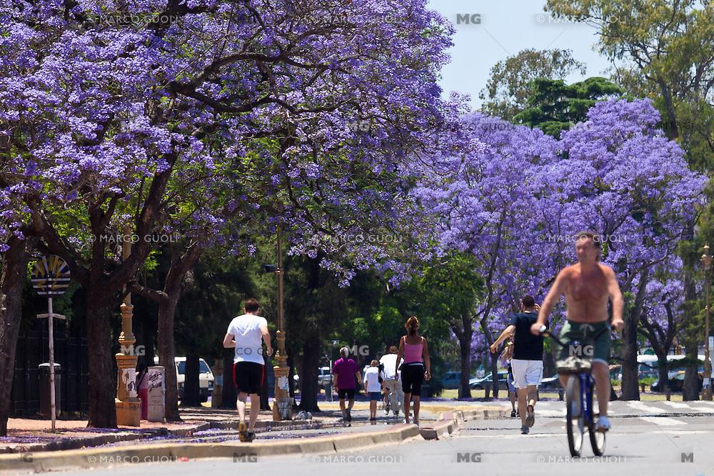 JACARANDAS FLORECIDOS EN EL ROSEDAL DE PALERMO, CIUDAD DE BUENOS AIRES, ARGENTINA (PHOTO © MARCO GUOLI - ALL RIGHTS RESERVED)