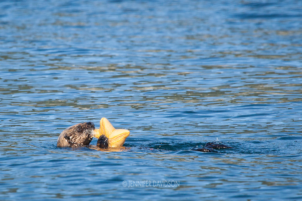 A sea otter eats a sea star in the Inian Islands, Southeast Alaska.