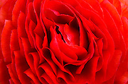 Closeup red English Rose flower background