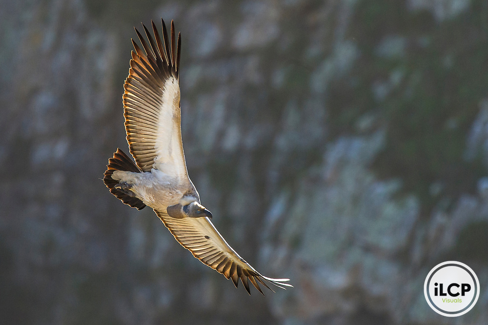 Cape Vulture in flight, De Hoop Nature Reserve, South Africa