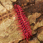 Mating pair of Shocking Pink Dragon Millipede (Desmoxytes purpurosea) is a spiny and toxic millipede aptly named for its bright pink color. It was discovered in Thailand in 2007.