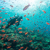 Diver swimming among school of fish, Komodo Island, Indonesia.
